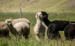 Alpakawolle und Pima-Cotton: Peruanische Hersteller streben auf den europäischen Markt