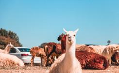 Las apacibles alpacas andinas, punta de lanza del negocio textil peruano